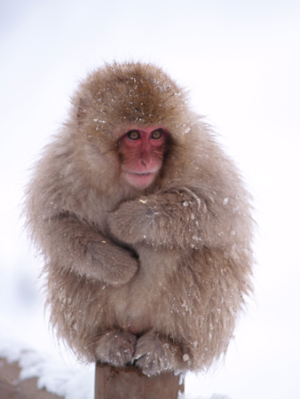 The Roving Ronin Report: Japanese Snow Monkeys - photo#19